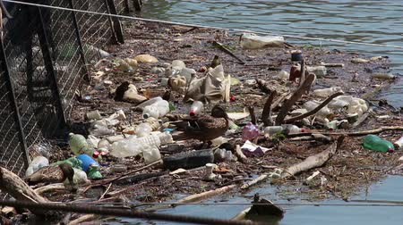 contaminação : Garbage in the river, ducks