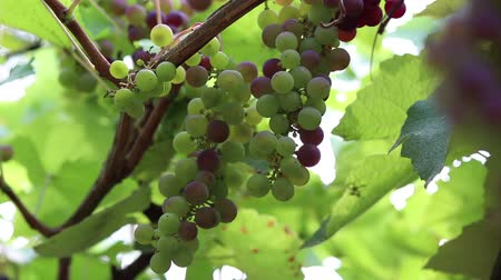 winnica : Grapes, vineyard, 3 clips