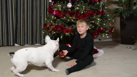 memeli : Boy and French Bulldog puppy at Christmas Stok Video