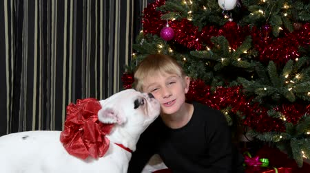 cachorro : Puppy kisses boy in front of the Christmas tree Stock Footage