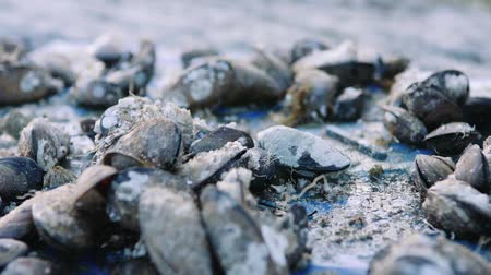 shellfish : fresh shells near the fjord Stock Footage
