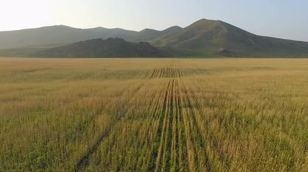owies : Aerial view of organic barley field