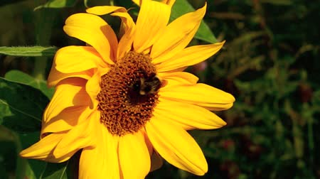 Bumblebee on Sunflower, Organic Gardening Wideo