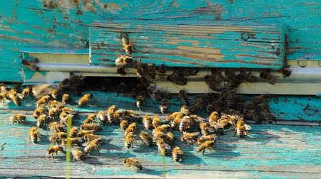 apiary : swarm of bees at the entrance to the hive