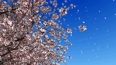 cereja : Close up of lush blooming sakura cherry tree with flower petals falling in slow motion against bright blue sky background