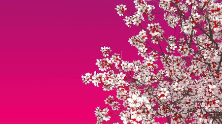 oriental cherry tree : Close-up of japanese sakura cherry tree crown in full blossom against copy space pink background