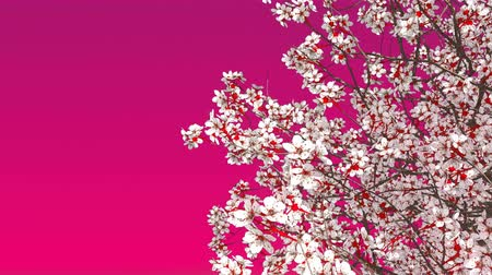 fuksja : Close up of blooming japanese sakura cherry tree against pink background with space for text