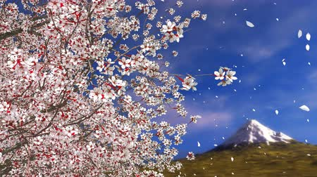 florido : Close up of japanese sakura cherry blossom tree with flower petals falling in slow motion and Fuji mountain in the distance