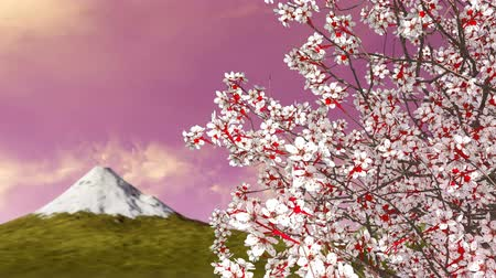 florido : Close up of blooming japanese sakura cherry tree against Mt Fuji and scenic sunrise or sunset sky