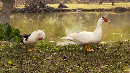 duck pond : Pair of free range muscovy ducks at river.
