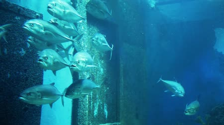 School Bigeye Trevally fish swimming in aquarium. Stok Video