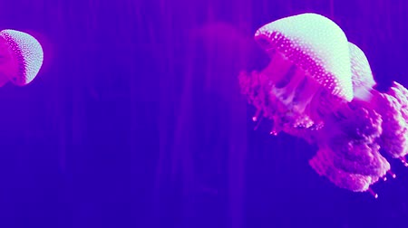 Beautiful jellyfishes swimming in an aquarium. Stok Video