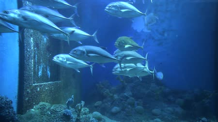 Swarm of bigeye trevally fish swimming in aquarium.
