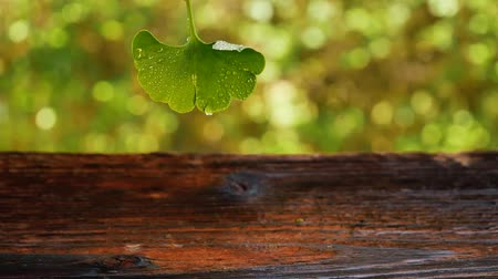 homeopatia : Water Drop Falling From Ginkgo Leaf on wooden table. Natural remedy, nutritional supplement.