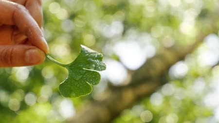 homeopathic : Water Drop Falling From Ginkgo Leaf in nature. Ginkgo biloba, nutritional supplement. Natural remedy.
