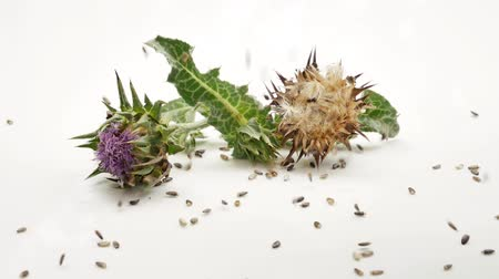 silybum : Milk thistle seeds falling on Milk thistle plants. Isolated on white background. Alternative medicine, natural remedy. Stock Footage