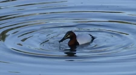 duck making ripples in the water by dunking his head