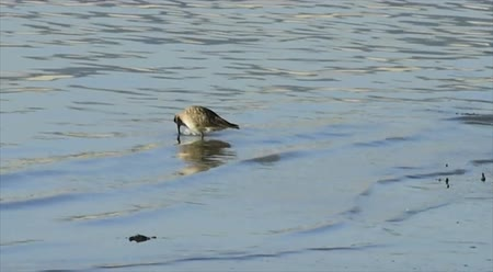 shore bird in water looking for food at low tide