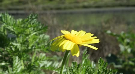 margarida : yellow daisy wild flowers blowing in a breeze