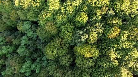 вниз : Top view of green forest with camera moving up