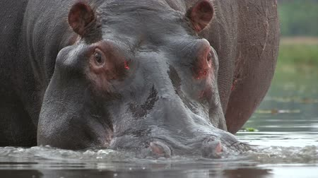 hippos : Bull hippo snorting and blowing air through nostrils