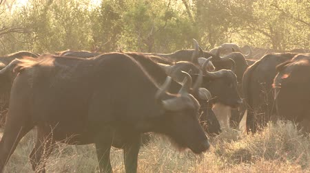 stádo : Herd of Cape buffalo looking at camera