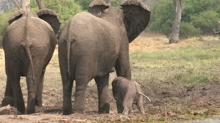 born calf : Newly born elephant baby struggling to its feet and attempting to suckle from mother
