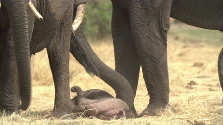 born calf : Incredible footage of newly born baby elephant being helped to stand by its mother Stock Footage