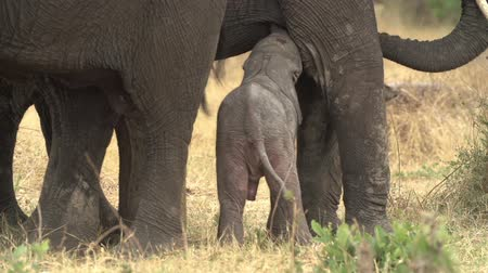 born calf : Incredible footage of newly born baby elephant attempting to suckle from mother