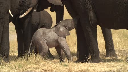 born calf : Incredible footage of newly born baby elephant being assisted by its mother