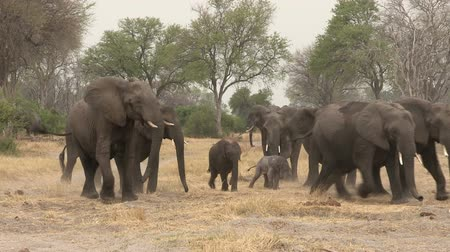 born calf : Herd of elephants forming protective shield around newly born baby