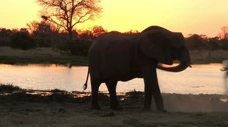 fil : Elephant dust bathing at sunset