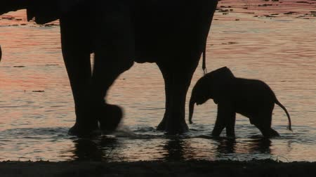 born calf : Elephant herd and new born baby in silhouette at waters edge