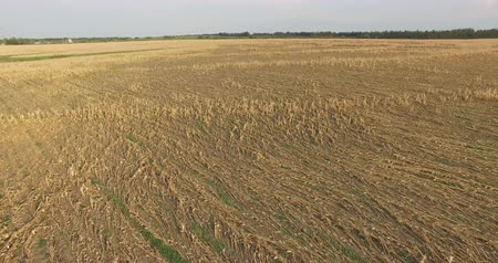 засуха : Aerial view of corn field devestated by drought and hail Стоковые видеозаписи