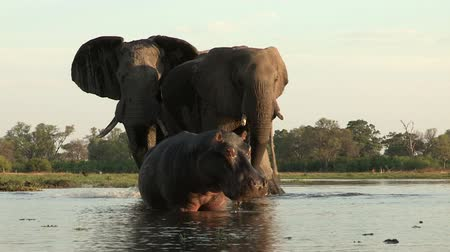 hippos : Unusual footage of Hippo with elephant drinking in background