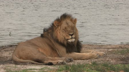 male : Male lion lying down and going to sleep Stock Footage