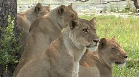 small group of animals : Pride of lions looking attentively at prey Stock Footage