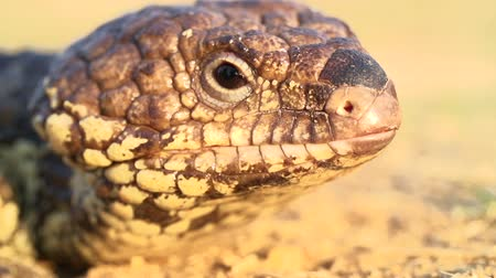 charakteristický : Slow motion of blue-tongued skink displaying characteristic blue tongue