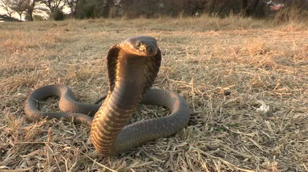 yılan : Snouted cobra with spread hood in aggressive posture