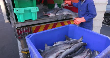 акула : Dead baby sharks being crated for shark fin industry