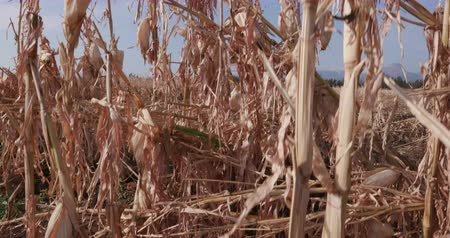 sucho : Moving shot of corn fields devastated by drought and hail Dostupné videozáznamy