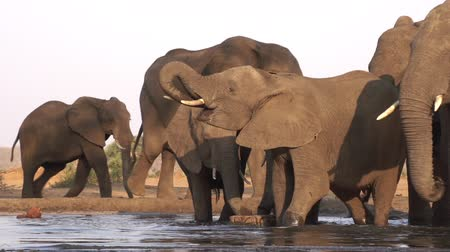 fil : Timelapse of elephant family coming down to waterhole and drinking