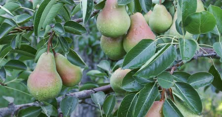güney afrika : Bunch of pears growing on a fruit tree