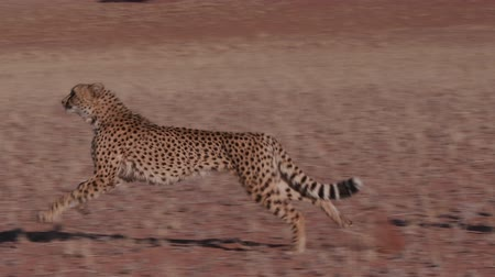gepard : Cheetah running side on to camera in slow motion