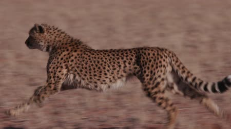 ragadozó : Cheetah running side on to camera in slow motion