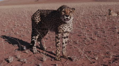 gepard : Cheetah snarling and looking towards camera in slow motion Wideo