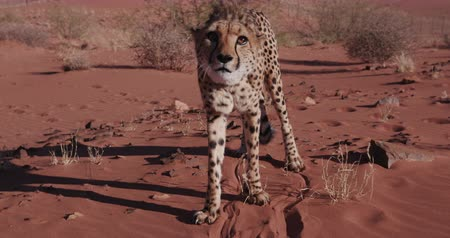 gepard : 4K Cheetah snarling and looking towards camera