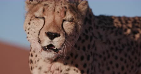 ghepardo : 4K Close-up ritratto di Cheetah Filmati Stock