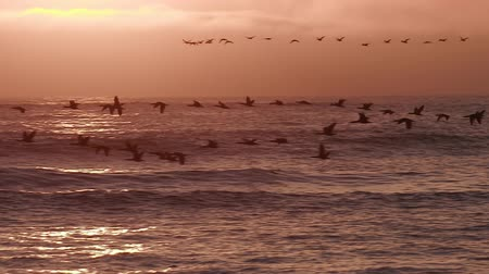 birds flying : Birds flying in slow motion at sunset over the sea