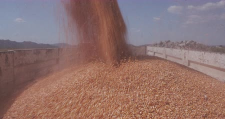 being cut up : 4K Close-up of harvested corn being transferred into grain trucks